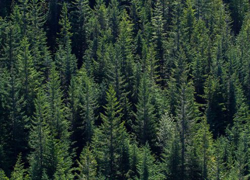 West Coast Douglas Fir Forest